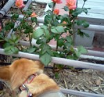 大井戸公園のバラと・・・