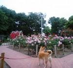 大井戸公園のバラ