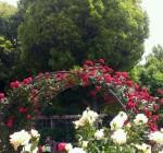 大井戸公園のばら園